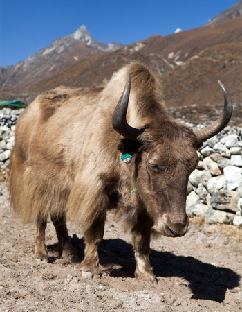 Brown Yak in latin bos grunniens or bos mutus on the way to Everest base camp - Nepal Himalayas mountains