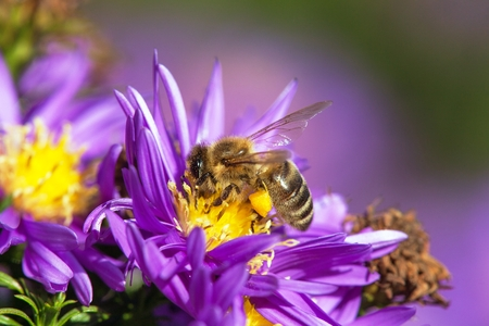 detail of bee or honeybee in Latin Apis Mellifera, european or western honey bee sitting on the yellow violet or blue flower Stock Photo - 123494529
