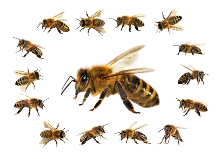 group of bee or honeybee in Latin Apis Mellifera, european or western honey bees isolated on the white background, golden honeybees Stock Photo
