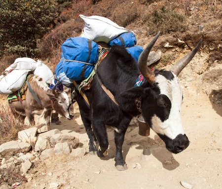 Caravan of yaks, bos grunniens or bos mutus, on the way to Everest base camp - Nepal Himalayas mountains Stock Photo - 123494422