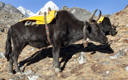 Black yak (Bos grunniens or Bos mutus) on the way to Everest base camp - Nepal Stock Photo - 123494426