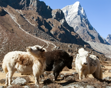 group of three yaks, bos grunniens or bos mutus, on the way to Everest base camp, Nepal Himalayas mountains Stock Photo