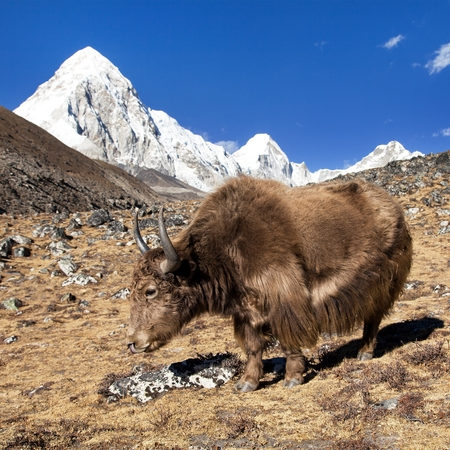 Brown yak, Bos Grunniens or Bos Mutus, on the way to Everest base camp and mount Pumo ri - Nepal Himalayas mountains