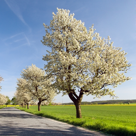 alley of cherry trees white flowering beautiful view Stock Photo