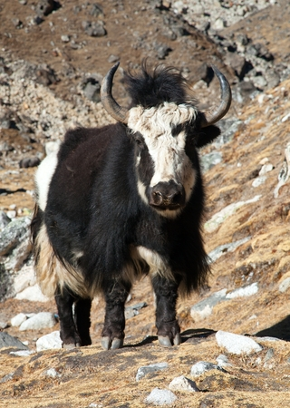 Black and white yak (Bos grunniens or Bos mutus) on the way to Everest base camp - Nepal Himalayas Stock Photo - 123494435