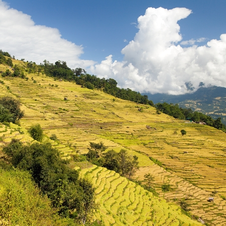 golden terraced rice or paddy field in Nepal Himalayas mountains beautiful himalayan landscape Stock Photo - 123494438