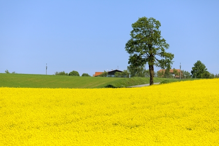 Field of rapeseed, canola or colza, in latin Brassica Napus and lime tree, rape seed is plant for green energy and green industry