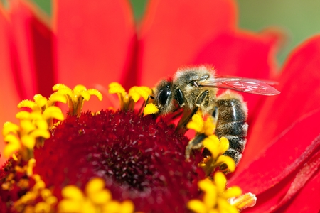detail of bee or honeybee in Latin Apis Mellifera, european or western honey bee pollinated red and yellow flower