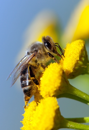 detail of bee or honeybee in Latin Apis Mellifera, european or western honey bee pollinated of yellow flower isolated on blue sky background