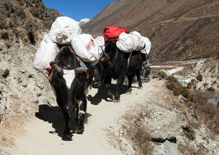 Caravan of yaks, bos grunniens or bos mutus, on the way to Everest base camp - Nepal Himalayas mountains Stock Photo
