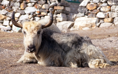 White and grey yak (bos grunniens or bos mutus) which is lying outside of lodge in nepalese himalayas, Everest area, Nepal Stock Photo - 124957131