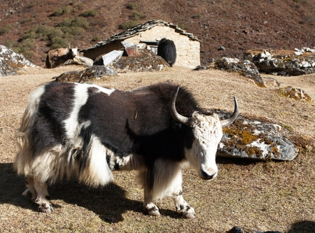Black and white Yak on the way to Everest base camp and typical nepalese home building - Nepal Himalayas mountains Imagens