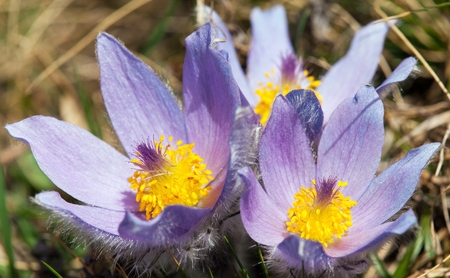view of beautiful blue flower of pasqueflower on the meadow