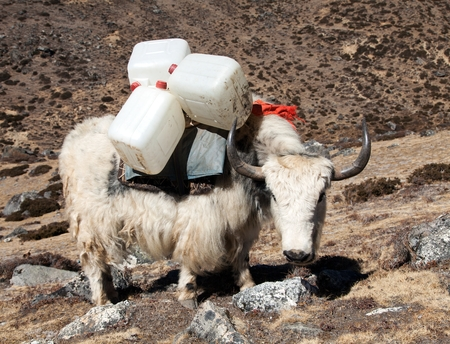 White yak, bos grunniens or bos mutus, on the way to Everest base camp - Nepal Stock Photo
