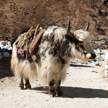 Black and white yak (Bos grunniens or Bos mutus)