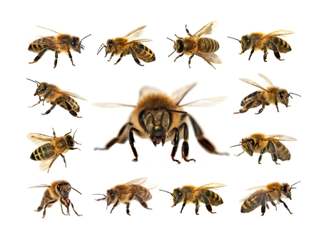 group of bee or honeybee in Latin Apis Mellifera, european or western honey bees isolated on the white background, golden honeybees Stock Photo - 124963271