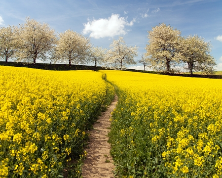 Rapeseed, canola or colza field with parhway and alley of flowering cherry trees - Brassica Napus - rape seed is plant for green energy and oil industry - spring time view Stock Photo - 124963272