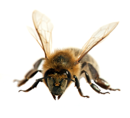 detail of bee or honeybee in Latin Apis Mellifera, european or western honey bee isolated on the white background Stock Photo - 124957859