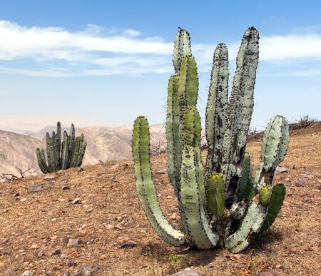 Cactus in desert landscape near Cerro Blanco, Nazca, Peru