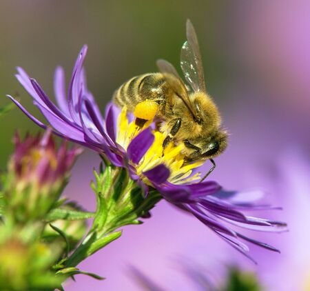 detail of bee or honeybee in Latin Apis Mellifera, european or western honey bee pollinated the yellow violet purple or blue flower