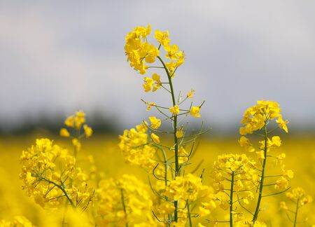 detail of flowering rapeseed canola or colza field in latin Brassica Napus, plant for green energy and oil industry, rape seed on blue sky background