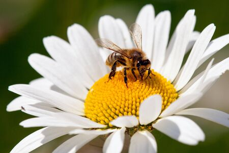 detail of golden bee or honeybee in Latin Apis Mellifera, european or western honey bee sitting on white flower of common  daisy Stock Photo
