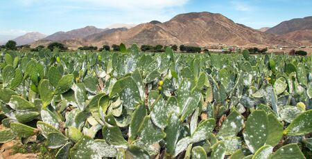 Prickly Pear Cactus or Opuntia field near Nasca town in Peru, opuncia cactuses are typical agricultural plant in desert