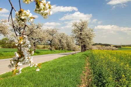 alley of flowering cherry trees white colored in latin Prunus cerasus cherry-trees with road and beautiful sky