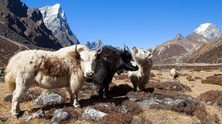 yak, group of three yaks on the way to Everest base camp, Nepal Himalayas mountains. Yak is farm and caravan animal in Nepal and Tibet