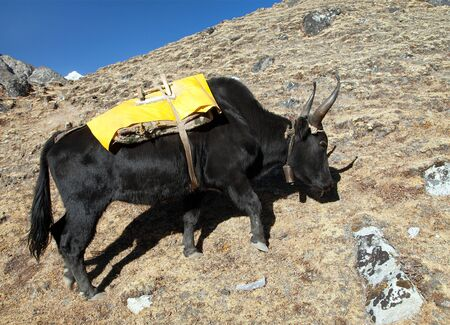 Black yak with yellow saddlery on the way to Everest base camp - Nepal