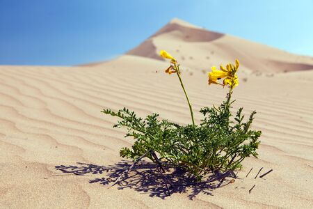 Yellow flower flowering on Cerro Blanco sand dune, the highest dunes on the world, located near Nasca or Nazca town in Peru