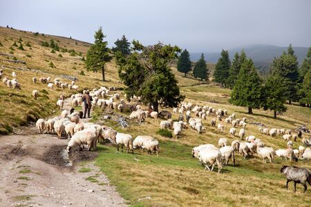 herd of sheep with herdsman, ovis aries, sheep is typical farm animal on mountains