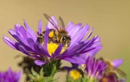 detail of bee or honeybee in Latin Apis Mellifera, european or western honey bee pollinated the yellow violet purple or blue flower