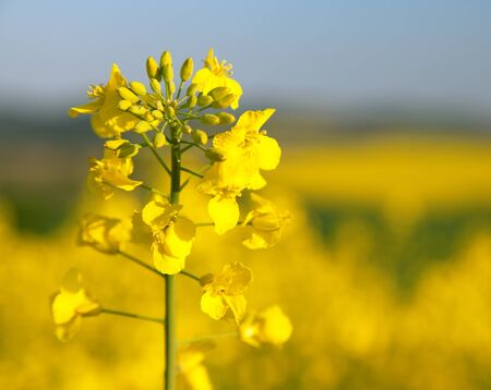 detail of golden flowering field of rapeseed canola or colza in latin Brassica Napus - rape seed is plant for green energy and oil industry