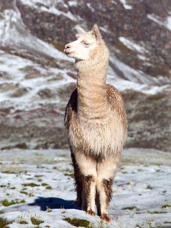 llama or lama on snowy mountain, Peruvian Andes mountais