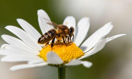 detail of golden bee or honeybee in Latin Apis Mellifera, european or western honey bee sitting on white flower of common  daisy Banco de Imagens