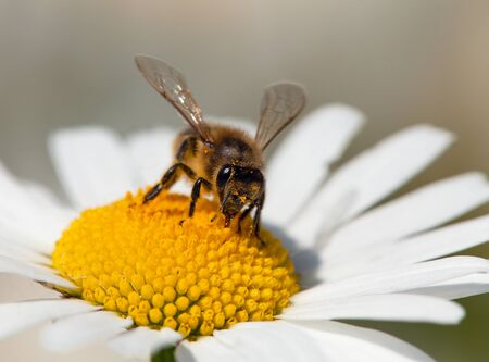 detail of golden bee or honeybee in Latin Apis Mellifera, european or western honey bee sitting on white flower of common  daisy Фото со стока