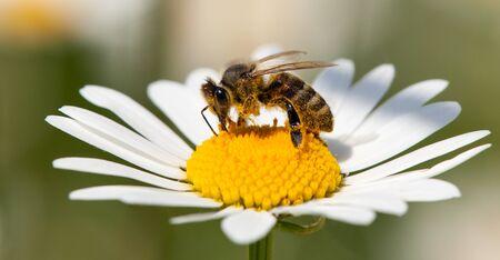 detail of golden bee or honeybee in Latin Apis Mellifera, european or western honey bee sitting on white flower of common  daisy 免版税图像