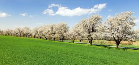 road and alley of flowering cherry trees in latin Prunus cerasus with beautiful sky. White colored flowering cherrytree