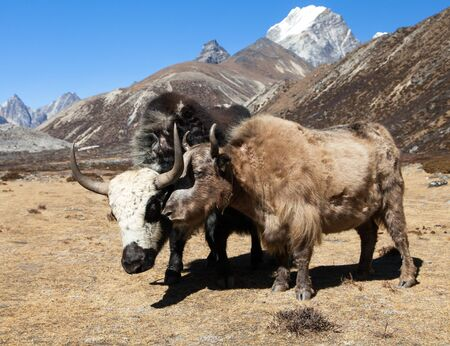 Group of two yaks on the way to Everest base camp, Nepal Himalayas mountains
