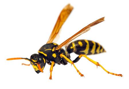 European wasp German wasp or German yellowjacket isolateed on white background in latin Vespula germanica Stock Photo