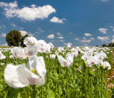flowering opium poppy field in Latin papaver somniferum, white colored poppy is grown in Czech Republic