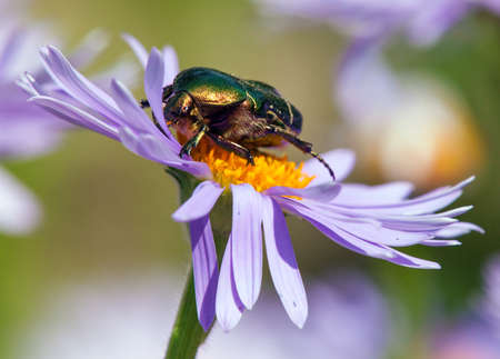 green rose flower chafer in latin cetonia aurata - insect sitting and pollinated flower Banco de Imagens
