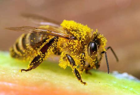 detail of bee or honeybee in Latin Apis Mellifera, european or western honey bee Banco de Imagens