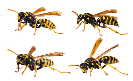 Set of four European wasp German wasp or German yellowjacket isolateed on white background in latin Vespula germanica