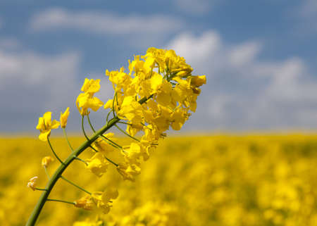 detail of flowering rapeseed rape seed canola or colza field in latin Brassica Napus, plant for green energy and oil industry, rape seed on sky background