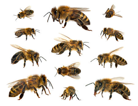 Set of bees or honeybees in Latin Apis Mellifera, european or western honey bee isolated on the white background Archivio Fotografico