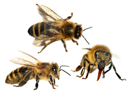 Set of tree bees or honeybees in Latin Apis Mellifera, european or western honey bee isolated on the white background Reklamní fotografie