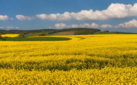 Rapeseed, canola or colza field in Latin Brassica Napus with beautiful clouds on sky, rapeseed is plant for green energy and oil industry, springtime golden flowering field