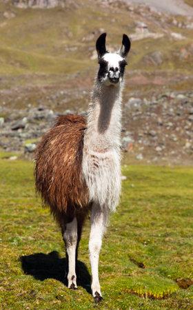 llama or lama on pastureland, Andes mountains, Peru Reklamní fotografie